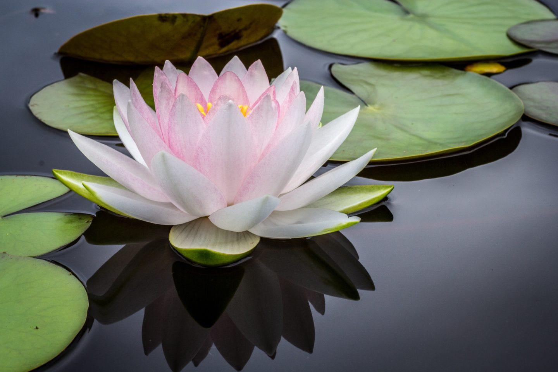 lotus flower symbol of transformation